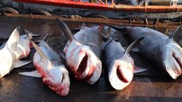 Sharks for Sale in a Sri Lankan Fish Market