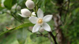 Shiikuwasha Flower