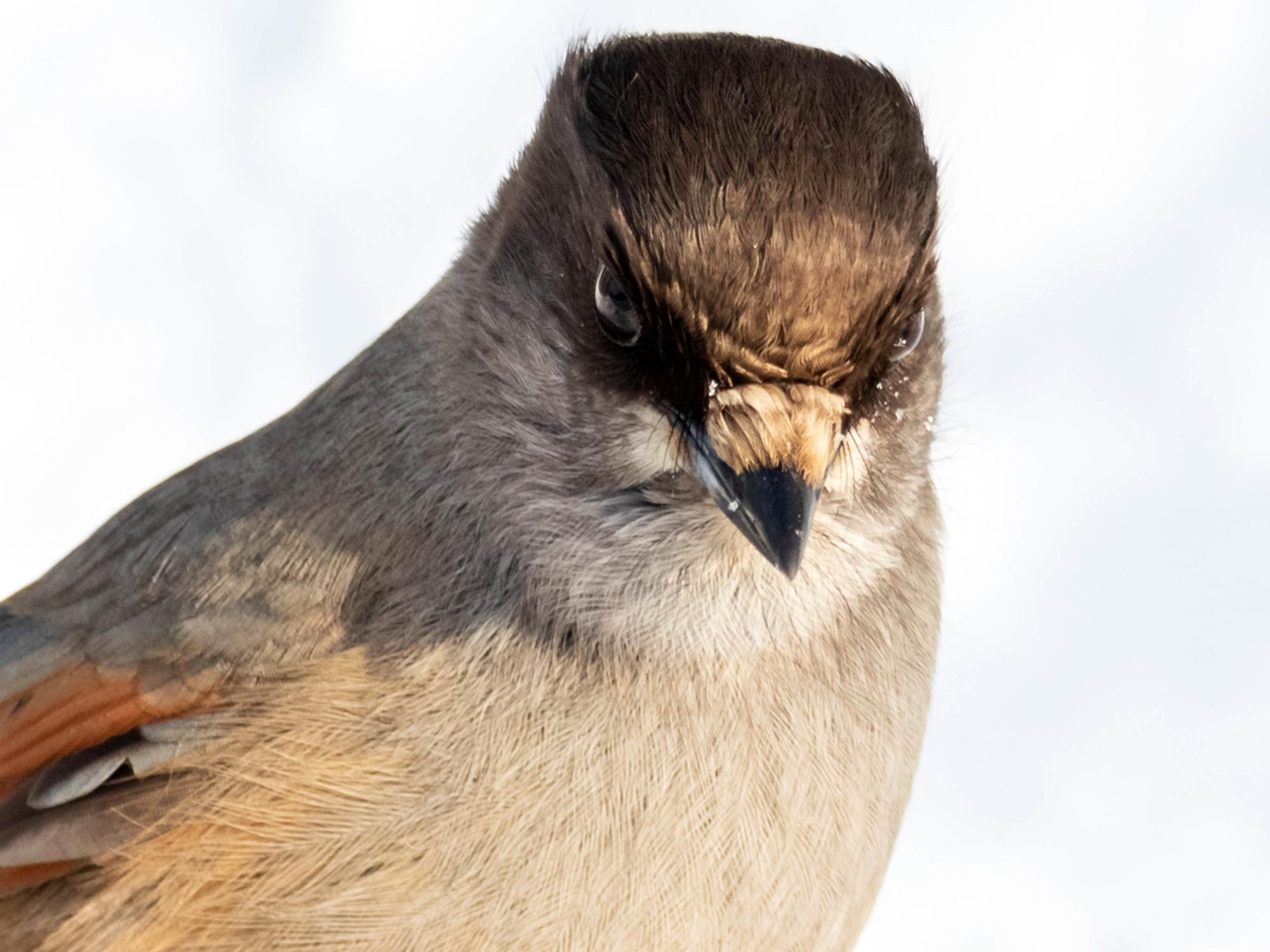 Deception and Lies: Wild Siberian Jays Use Social Knowledge to Avoid Being Tricked