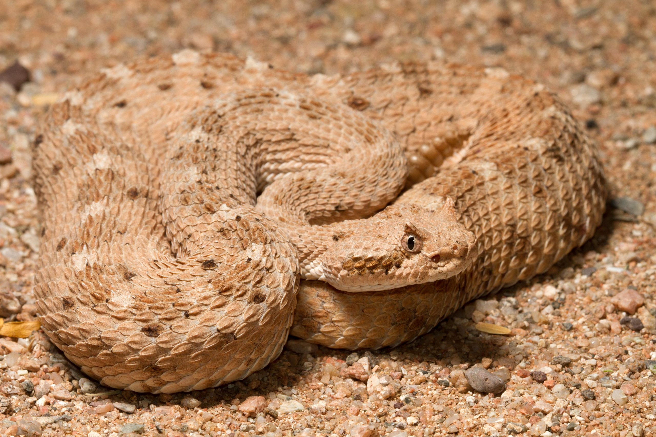 Physics of Snakeskin Sheds Light on Specialized Sidewinding Locomotion of Sidewinder Snakes