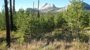 Sierra Lodgepole Pine 20 Years After Wildfire