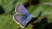 Silver Studded Blue Butterflies