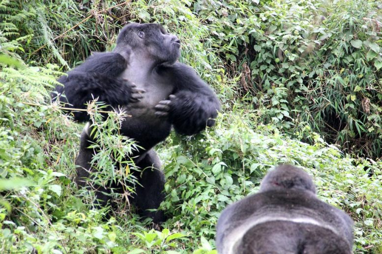 Silverback Chest Beating