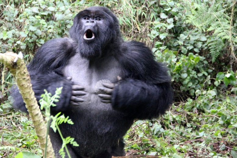 Silverback Gorilla Chest Beating