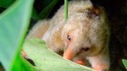 Six New Species of Anteaters Discovered