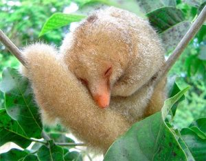 Six New Species of Silky Anteaters Discovered