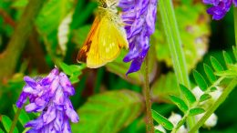 Skipper Feeding on Vicia cracca