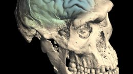 Skull of Early Homo From Dmanisi, Georgia