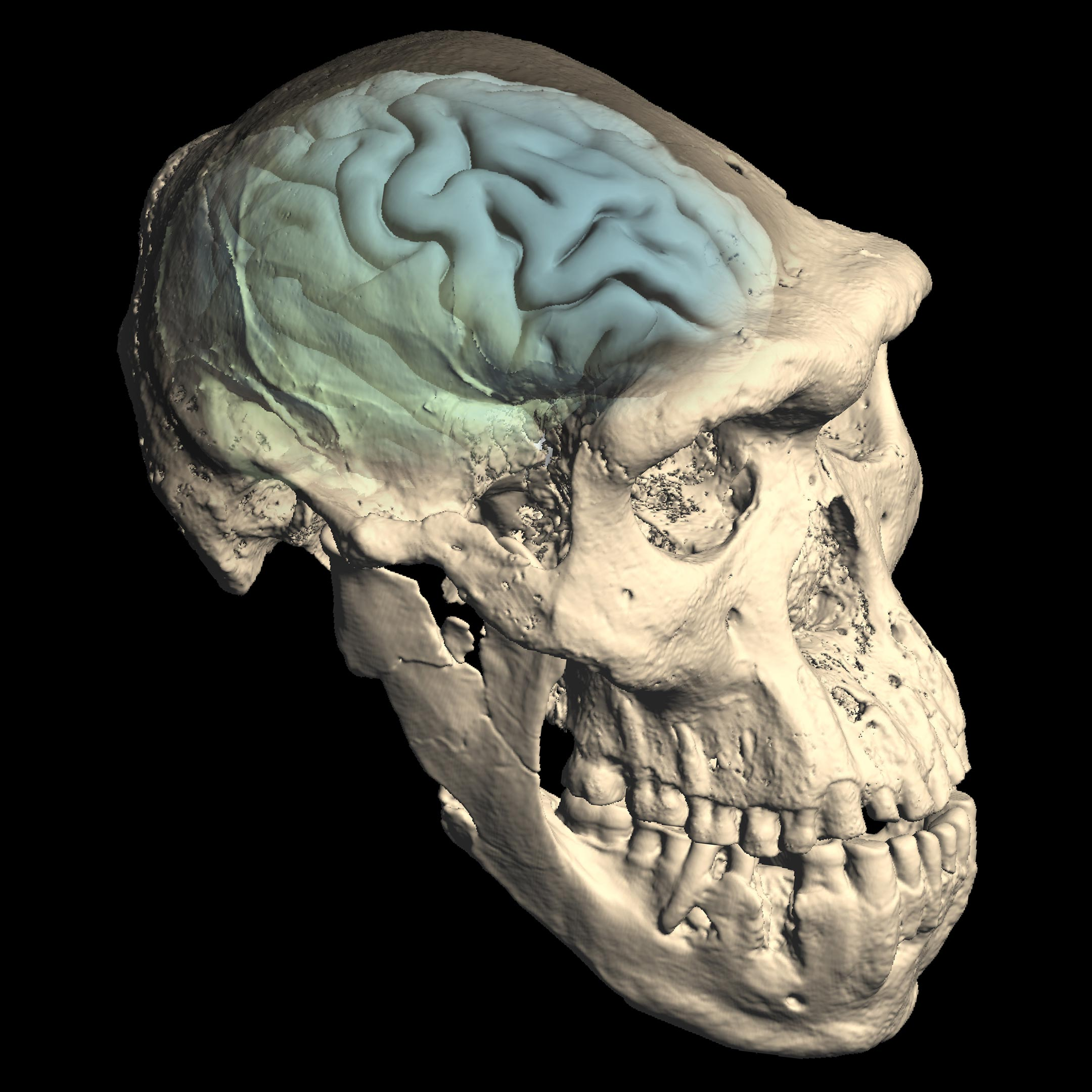 Modern Human-Like Brains Evolved Long After Earliest Humans First Dispersed From Africa