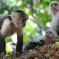 Small Monkey Groups Are More Likely to Fight