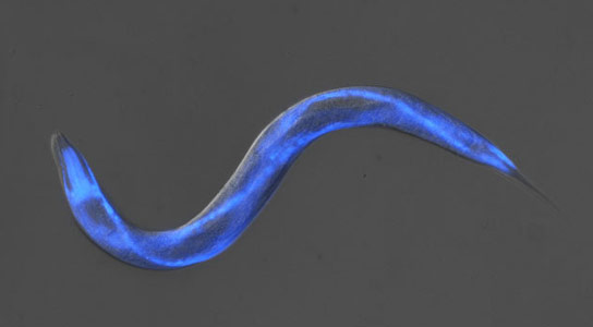 Small Worm May Help the Fight Against Alzheimers
