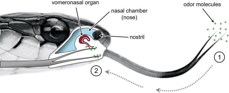 Snake Tongue Tips Deliver Odor Molecules to Vomeronasal Organ