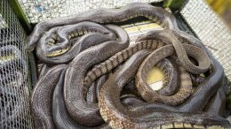 Snakes Sold at Market