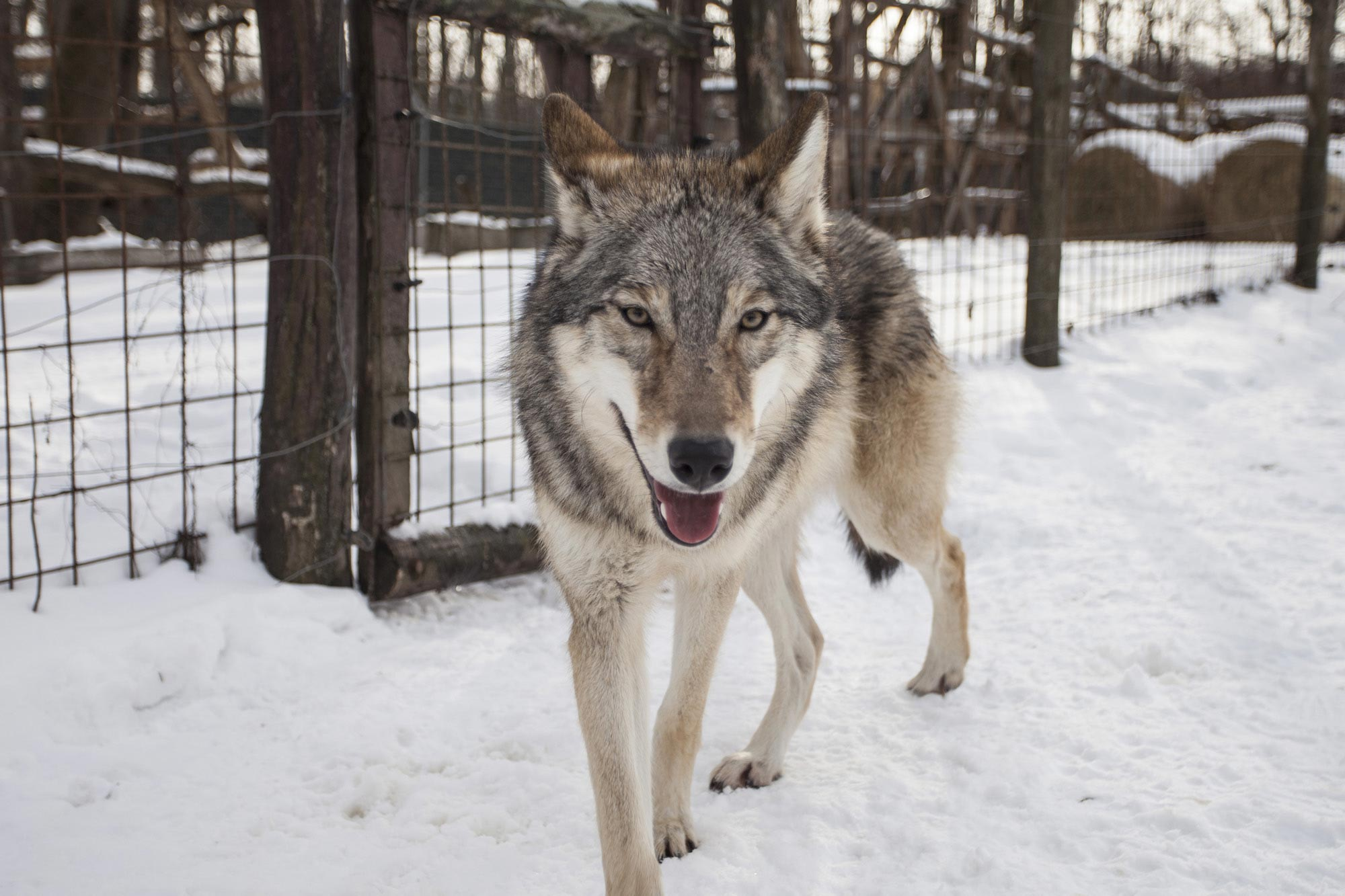 Wolves Bond: In Separation Adult Wolves Miss Their Human Handler Similar to Dogs