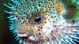 Spiky Porcupinefish