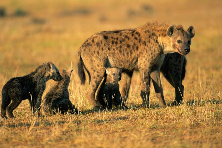 Spotted Hyena and Pups