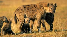 Spotted Hyena and Pups Crop