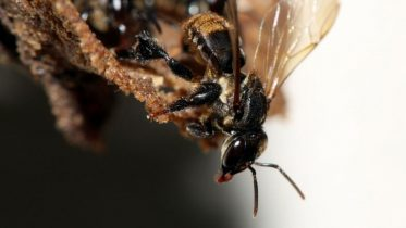 Bizarre Species of Stingless Bees Depend on a Complex Fungal Community to