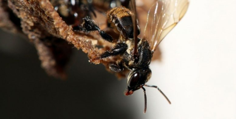 Stingless Bee Interacts with Fungus