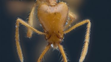 New Miniature Trap-Jaw Ant Ant Species Discovered – Named in Recognition of Gender Diversity