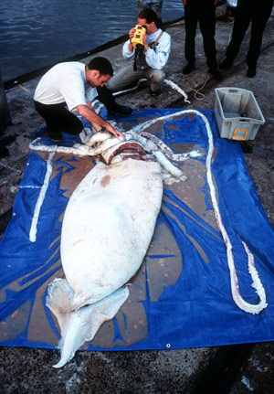 Study Reveals Population Structure of the Giant Squid Architeuthis