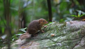Study Shows Common Treeshrew is an Evolutionary Rule Breaker