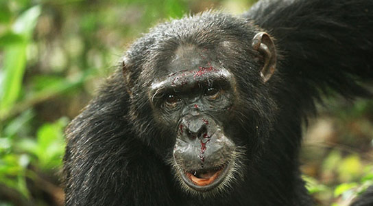 Study Shows Deadly Violence a Natural Tendency in Chimps
