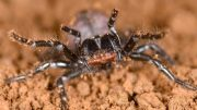 Study Shows Funnel-Web Spiders and Mouse Spiders Are Related