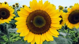 Sunflower Pollination