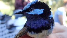 Superb Fairy Wren Close Up