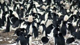 Supercolony of Adelie Penguins Discovered in Danger Islands