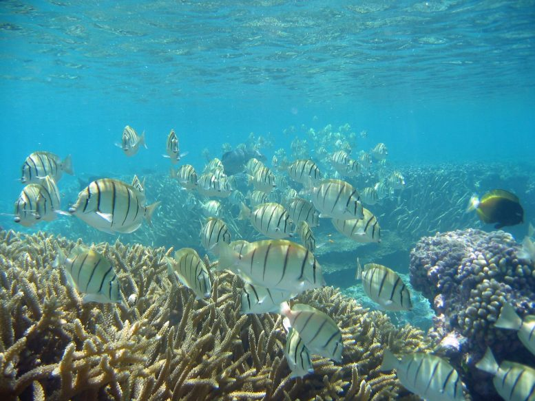 Surgeonfish in Tropical Coral Reef