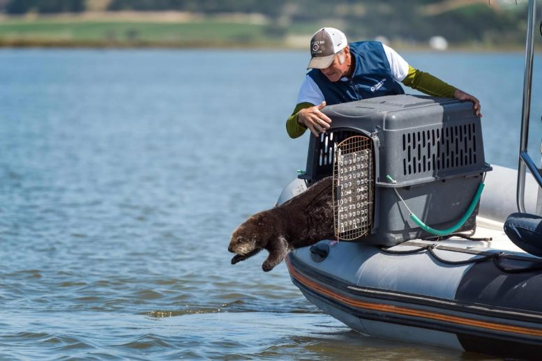 Surrogate Reared Otter Released into Elkhorn Slough