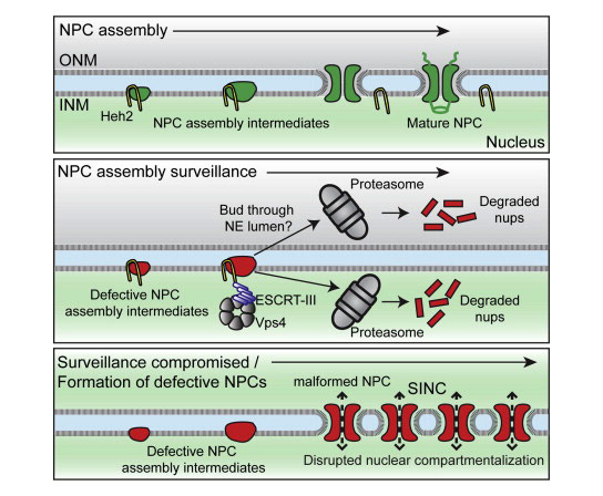 Surveillance of Nuclear Pore Complex Assembly