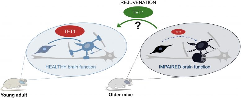 TET1's Role in Myelin Formation