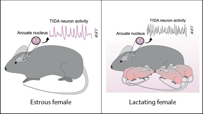 TIDA Neurons Activity Lactation