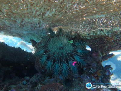 Tagged Crown of Thorns Starfish