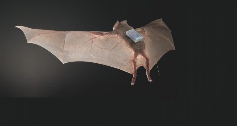 Tagged Desmodus Rotundus Bat