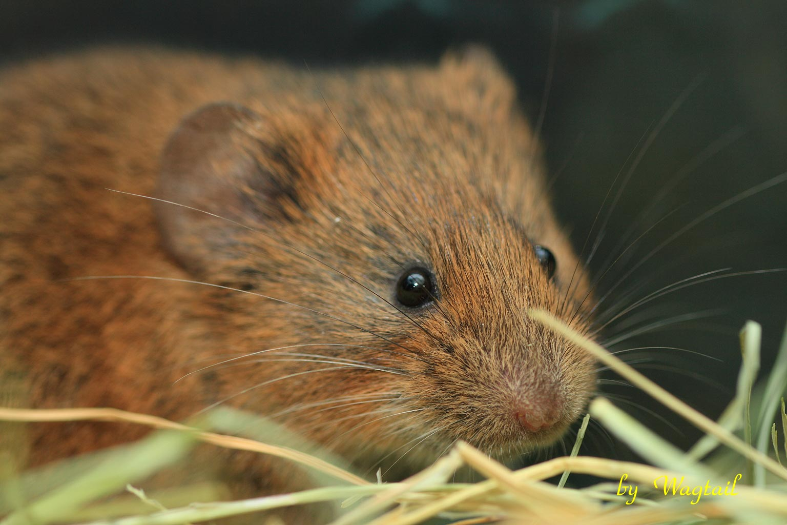 Research on Bizarre Rodent Genetics Solves Mystery – And Then Things Even Stranger
