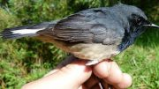 The Blackthroat Luscinia Obscura Discovered