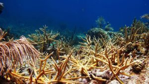 The Effect of Coral Restoration on Caribbean Reef Fish Communities