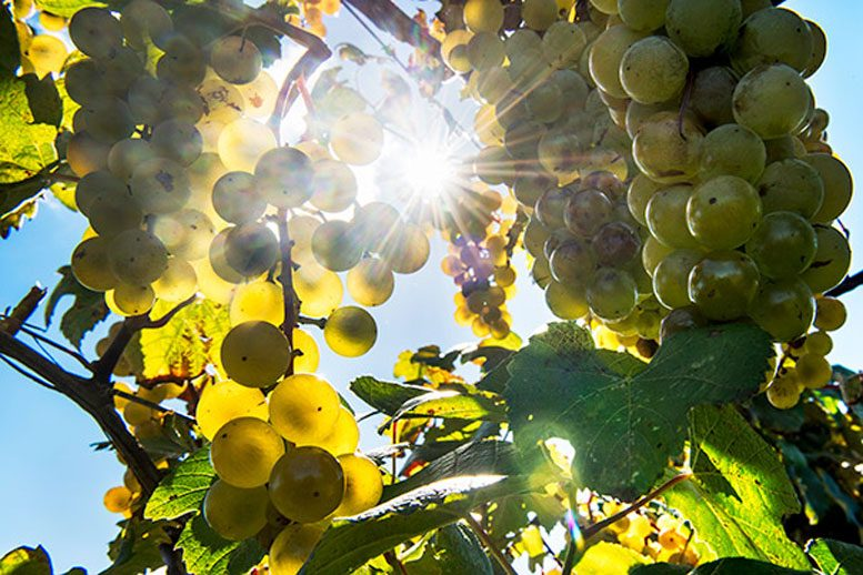 The Wide Diversity of Grapes and Their Adaptations to Different Climates