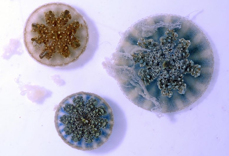 Three Cassiopea Jellyfish