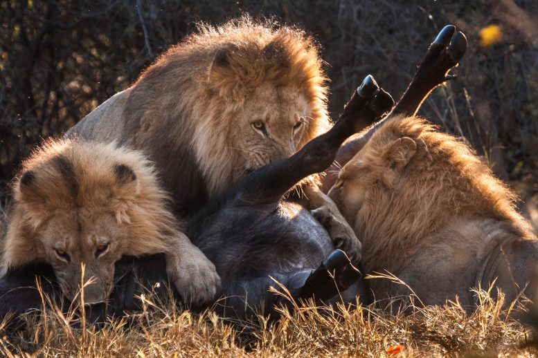 Three Lions Feeding