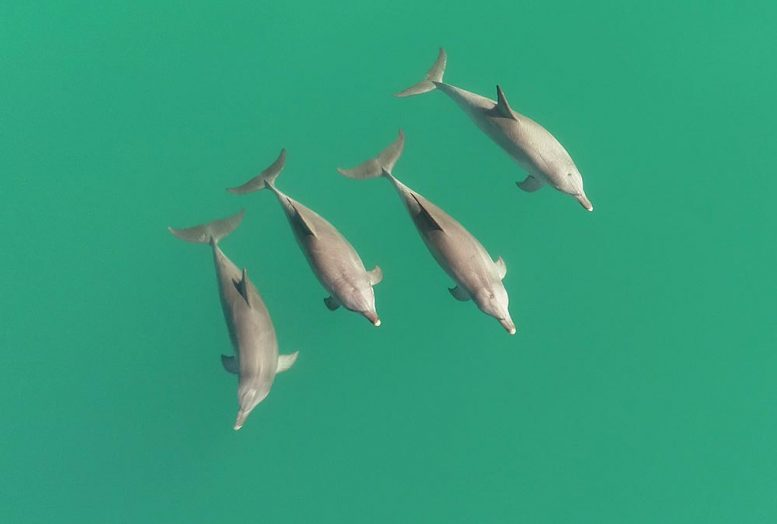 Three Male Dolphins and One Female