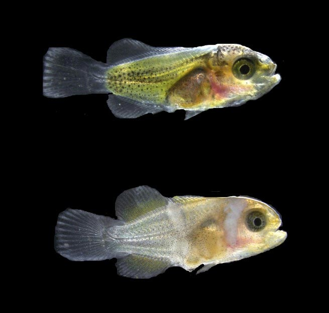 Thyroid Hormones Accelerate the Development of White Bars in Clownfish Larvae