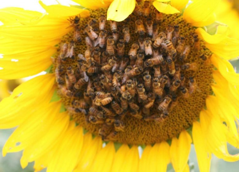 Trained Bees on Sunflower