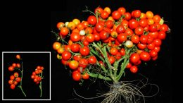 Triple Determinate Mutations in Tomatoes