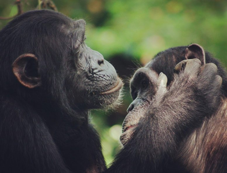 Two Chimpanzees Grooming Each Other