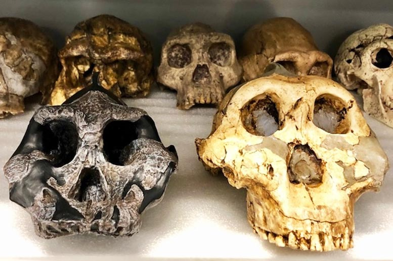 Two Key Specimens: Paranthropus Aethiopicus and P. Boisei